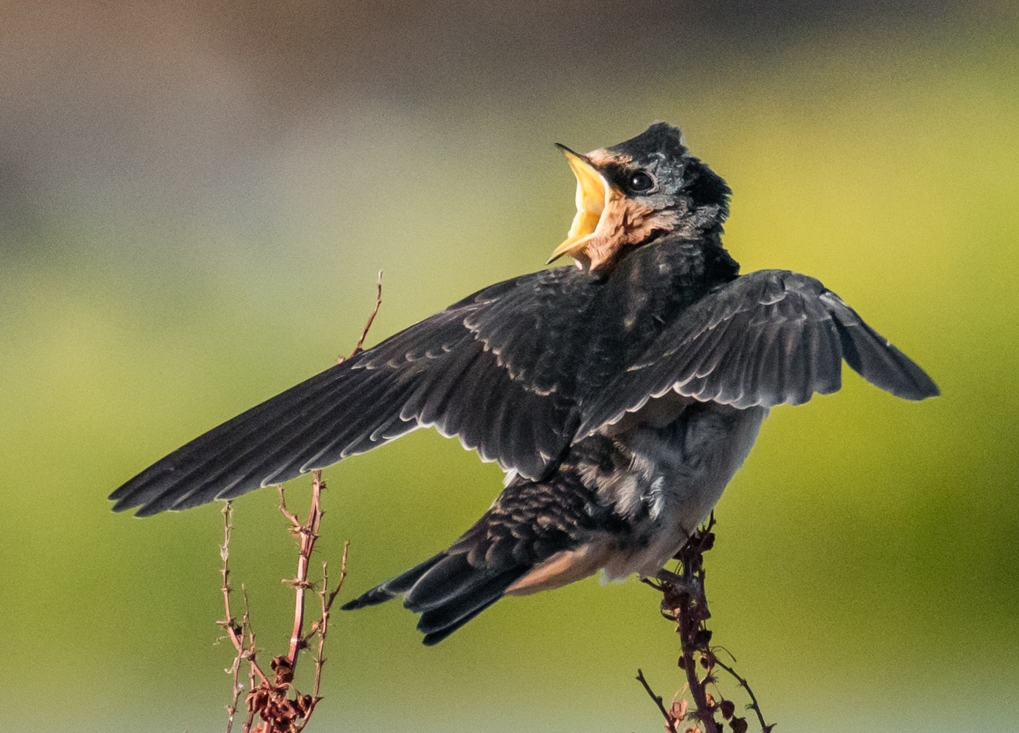 Barn-swallow-Hirundo-rustica-chick-being-fed-an-insect-1-Barn-swallow-chick-flutters-its-wings-and-opens-mouth-to-attract-parents-NM-Best-In-Show-by-Susie-Kelly-MR