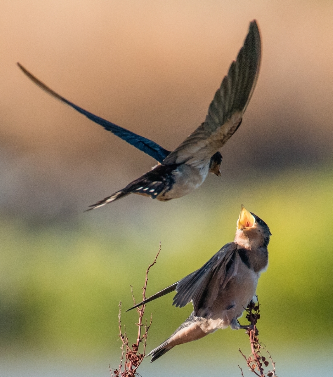 Barn-swallow-Hirundo-rustica-chick-being-fed-an-insect-2-12324507-Parent-finds-chick-NM-Place-by-Susie-Kelly-MR