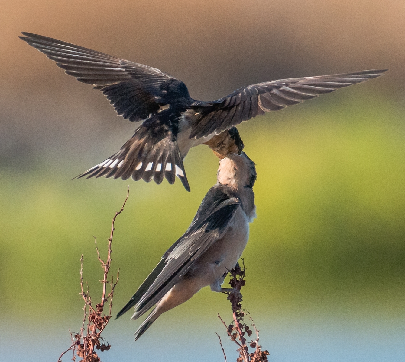 Barn-swallow-Hirundo-rustica-chick-being-fed-an-insect-3-12324515-Parent-delivers-insect-deep-into-chicks-throat-NM-Place-by-Susie-Kelly-MR