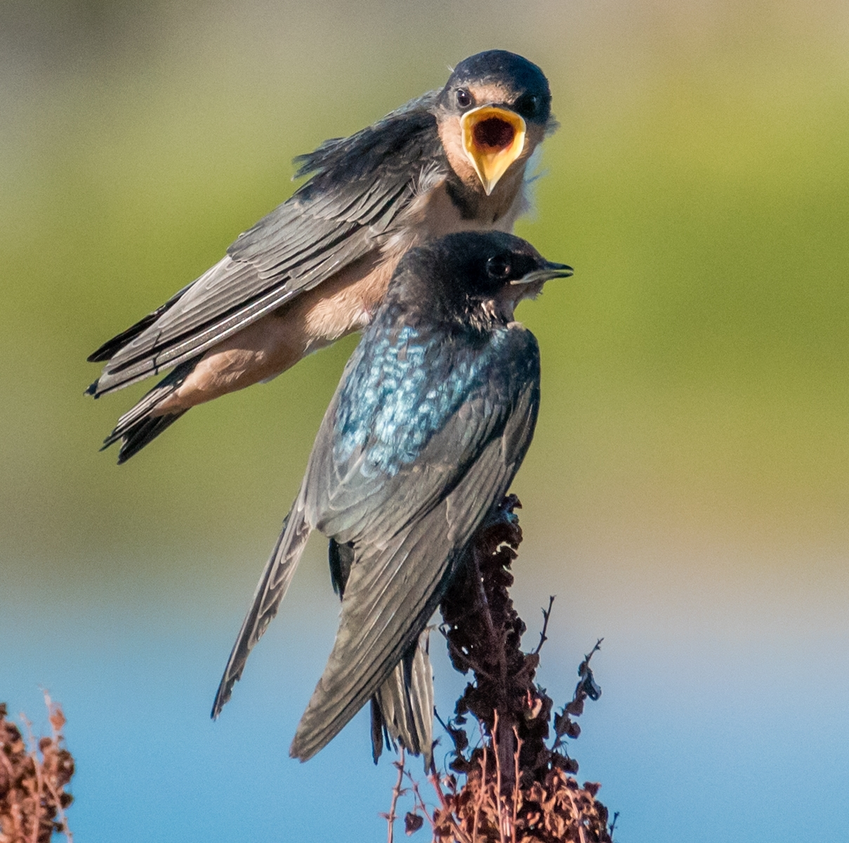 Barn-swallow-Hirundo-rustica-chick-being-fed-an-insect-4-12324523-With-a-wide-open-mouth-chick-indicates-it-is-still-hungry-NM-Place-by-Susie-Kelly-MR