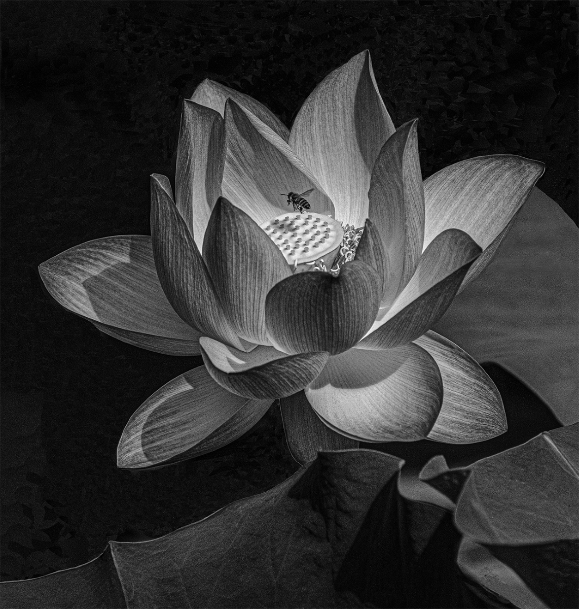 Pollinator-approaching-Lotus-Flower.-MB-1-Place-by-Renate-Johnson-LV