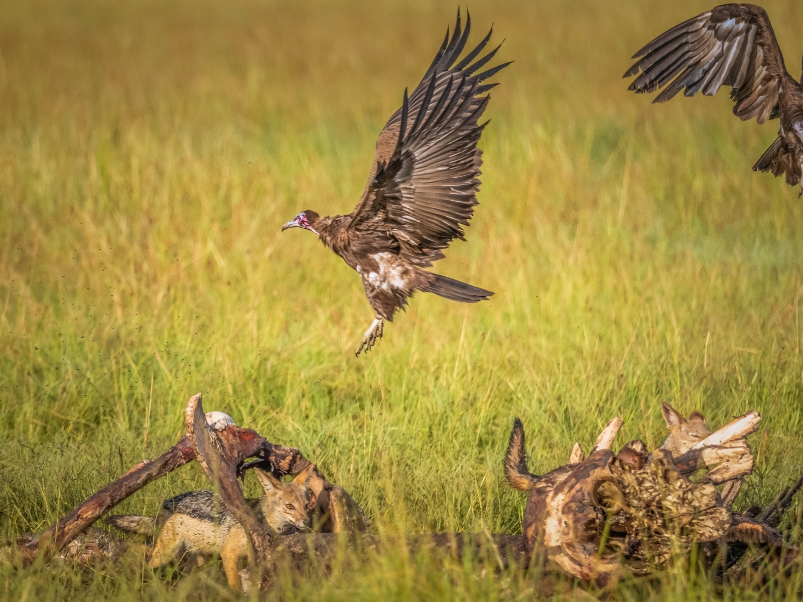 Scavengers-of-Masai-Mara-1_-Scavengers-play-an-important-role-in-the-ecosystem-by-consuming-the-dead-animals.-NM-Best-in-Show-by-Rajani-Ramanathan-LV