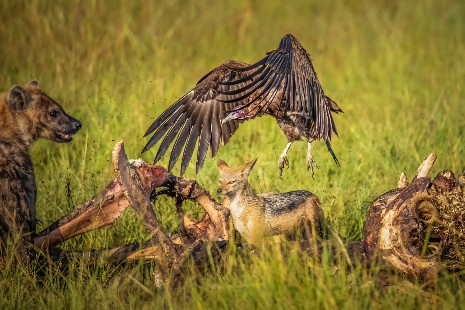 Scavengers-of-Masai-Mara-2_-Hyena-Jackal-and-Vultures-scavenging-on-an-elephant-carcass-here.-NM-Place-by-Rajani-Ramanathan-LV