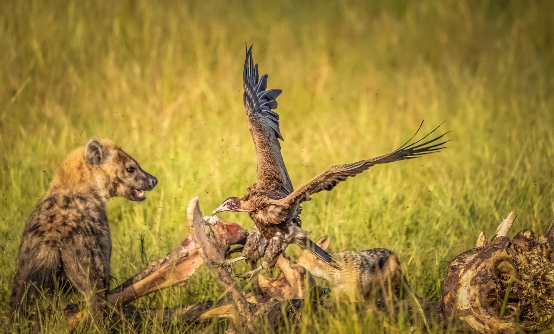 Scavengers-of-Masai-Mara-3_-The-spotted-Hyena-can-fiercely-attack-other-animals-and-birds-much-larger-than-itself-NM-Place-by-Rajani-Ramanathan-LV