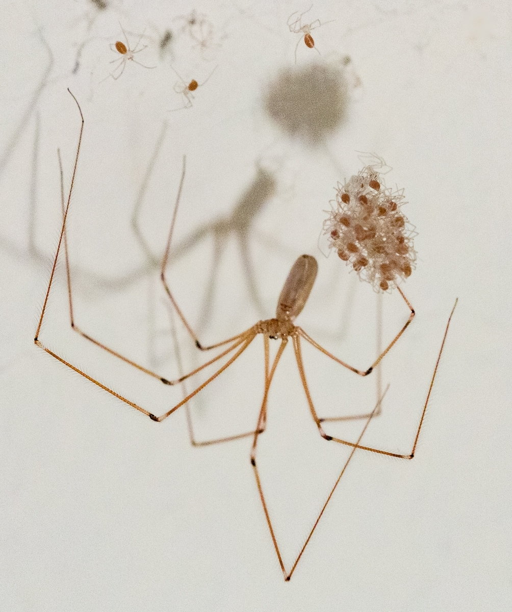 This-female-cellar-spider-Pholcus-phalangioides-carried-dozens-of-eggs-in-a-silken-sac-before-they-began-to-hatch-and-disperse.-NA-1-Place-by-Karen-Gideon-MR