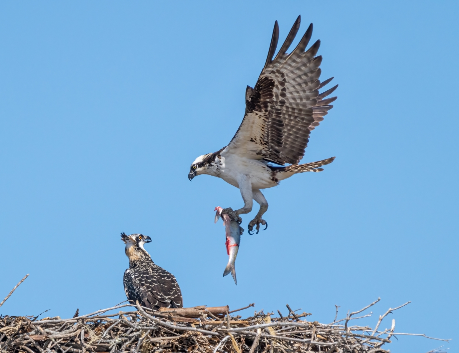 An-osprey-pandion-haliaetus-flies-into-its-nest-to-deliver-a-fish-to-its-chick-at-Point-Orient-Richmond-CA.-NI-1-Place-by-Tessa-Burt-PE