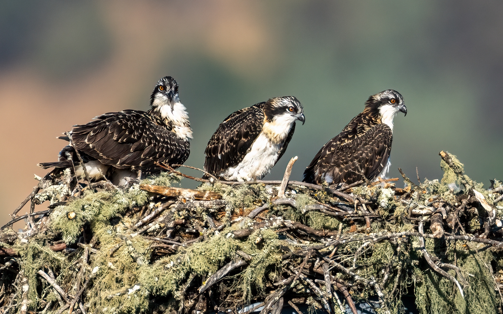 Osprey-Family-1-Early-morning-at-the-osprey-nest-as-three-fledglings-wait-for-an-adult-to-bring-food-NM-1-Place-by-Jerry-Meshulam-SR