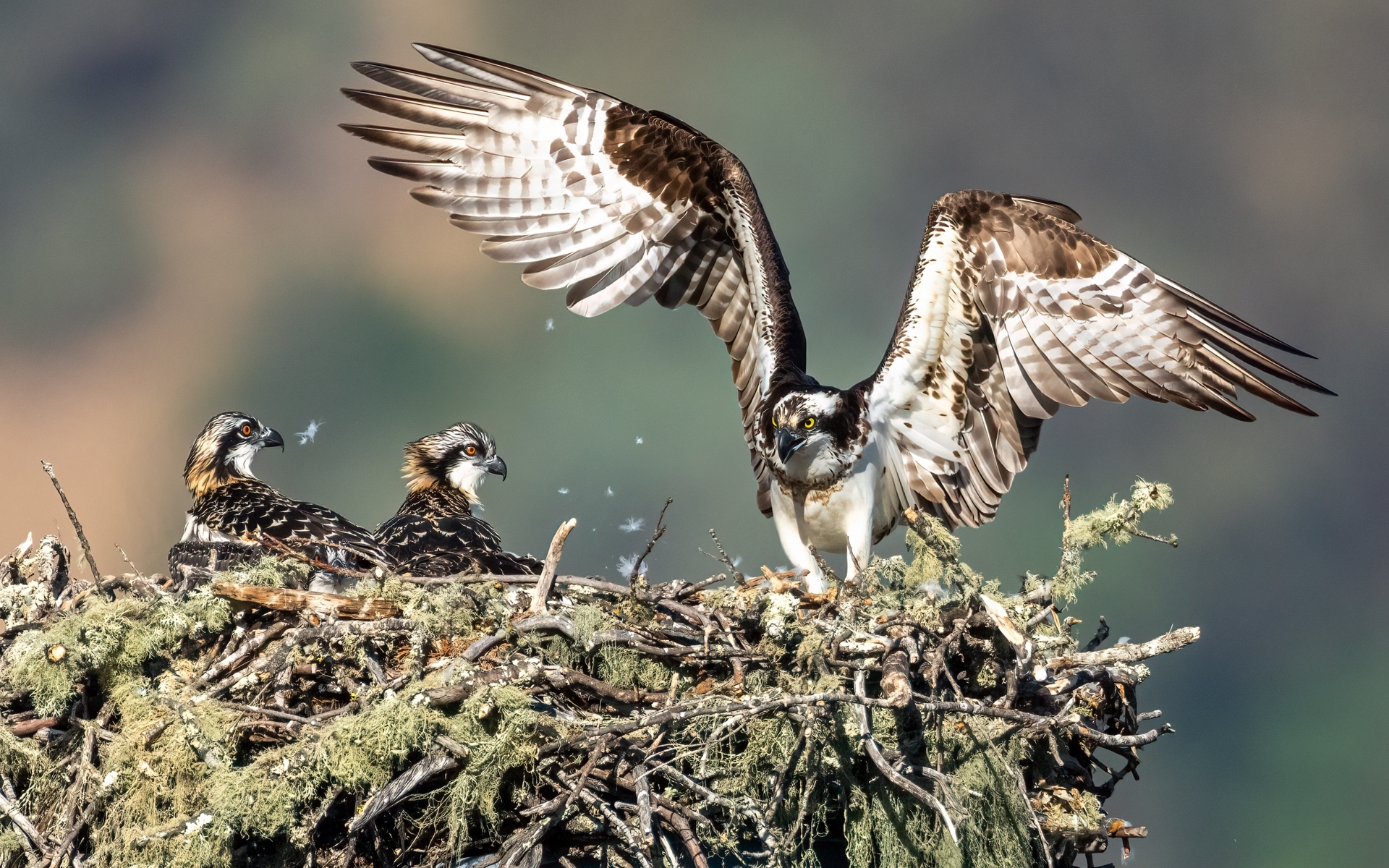 Osprey-Family-2-One-sibling-tests-out-its-wings-as-it-learns-to-fly-NM-Place-by-Jerry-Meshulam-SR