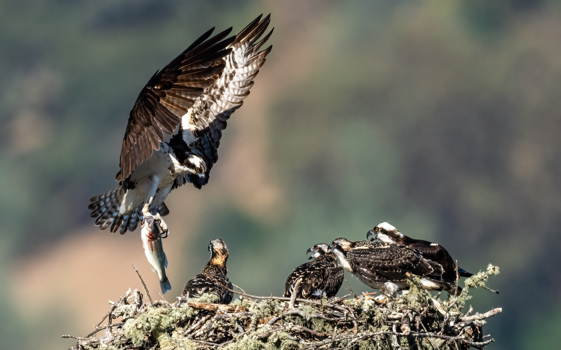 Osprey-Family-3-The-adult-female-on-the-right-has-returned-to-the-nest-and-the-adult-male-flies-in-with-a-fish-in-its-talons-NM-Place-by-Jerry-Meshulam-SR