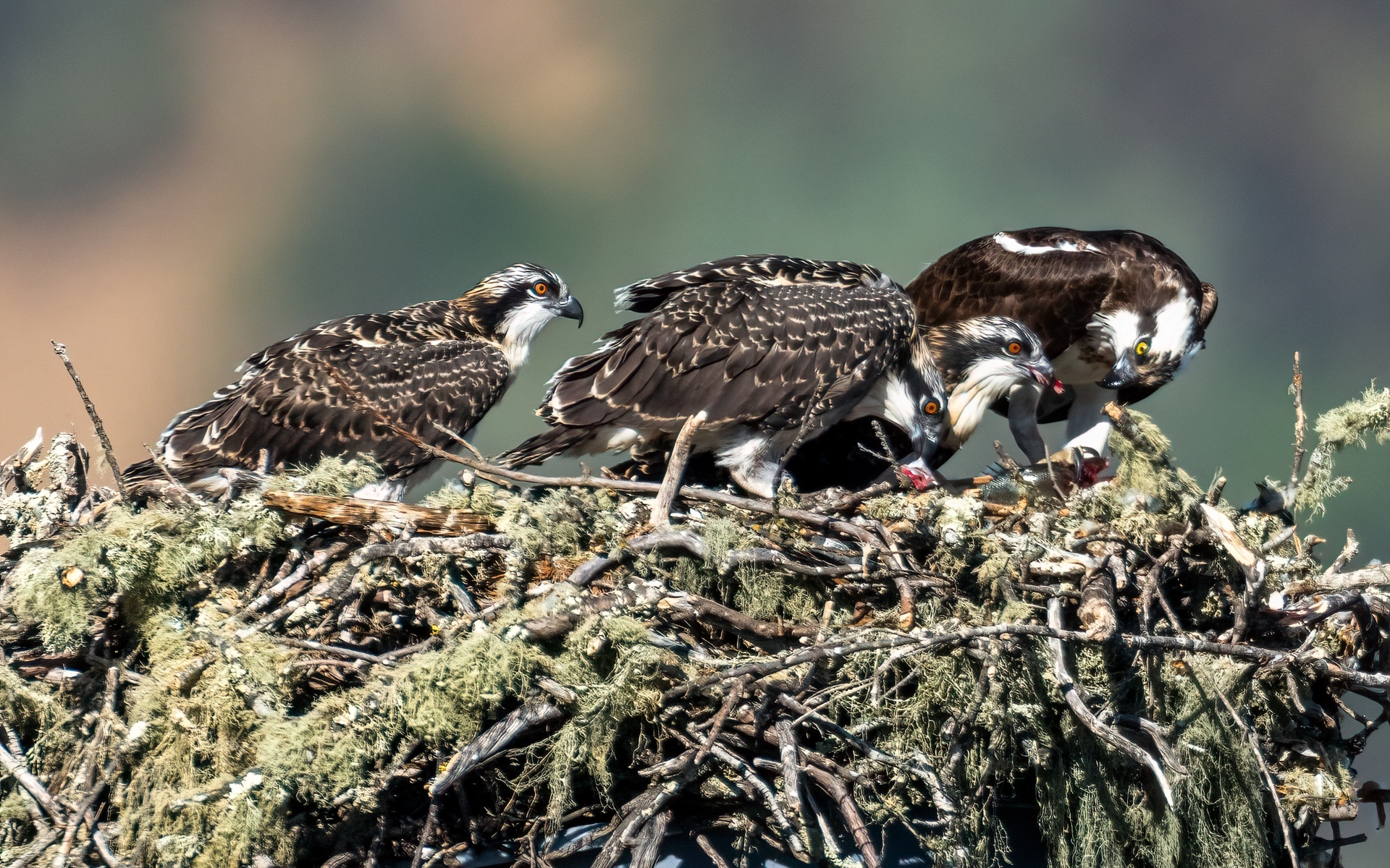 Osprey-Family-4-The-adult-female-teaches-the-fledglings-how-to-tear-off-bits-of-fish-as-she-feeds-one-NM-Place-by-Jerry-Meshulam-SR