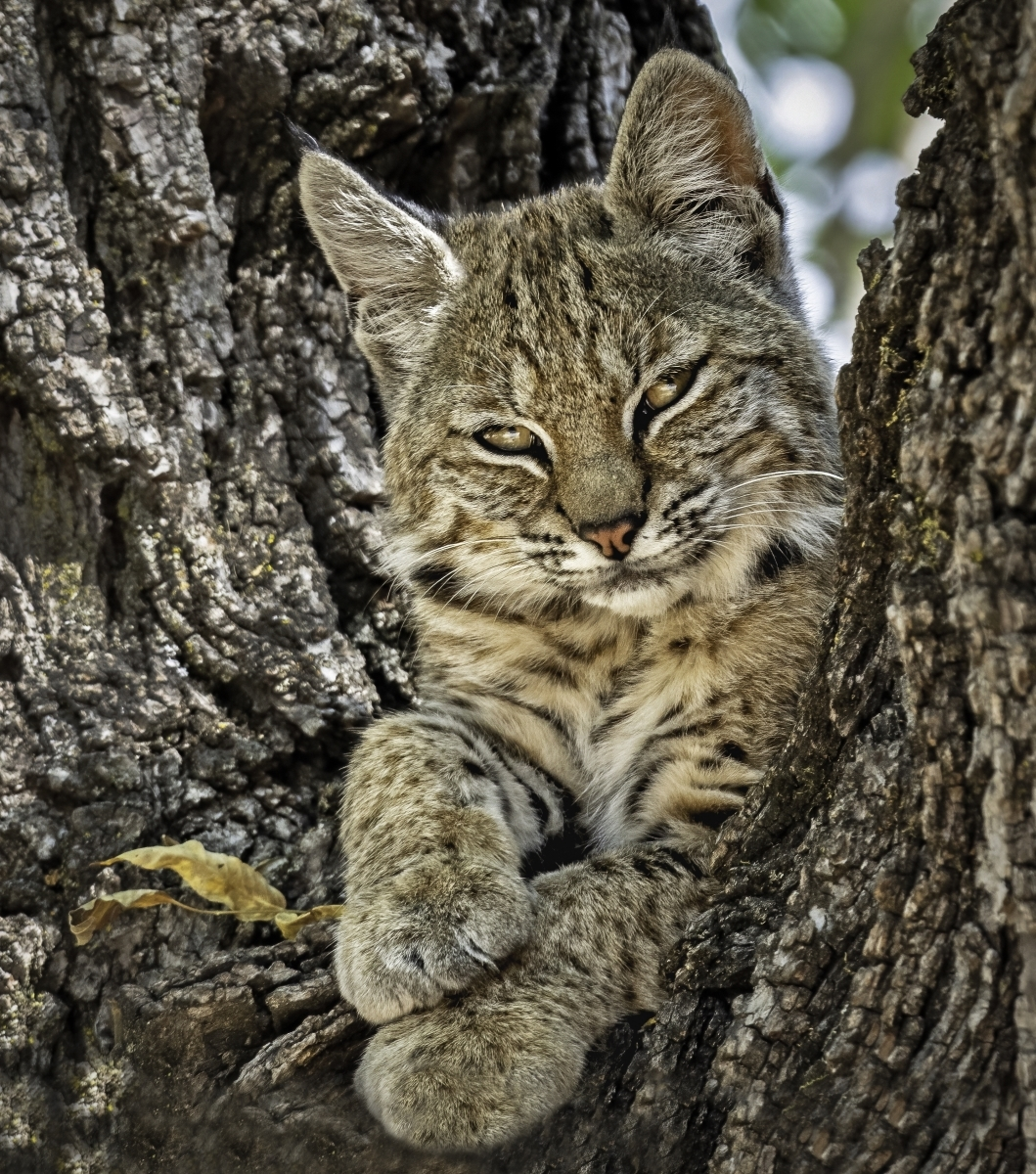 Sitting-Pretty-bobcat-kitten-PB-1-Place-by-Sue-Griffin-LV