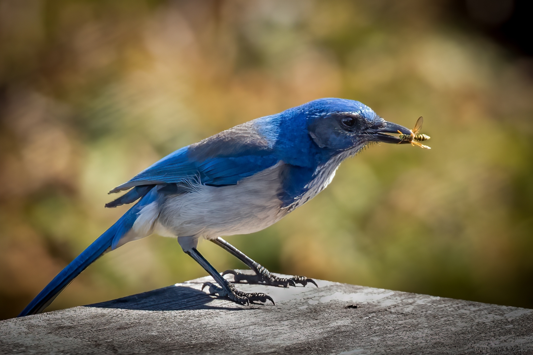 The-diet-of-the-Western-Scrub-Jay-includes-insects-fruit-nuts-and-berries.-In-this-case-a-wasp-while-perched-on-an-owl-box.-NB-1-Place-by-Michael-Carpenter-PE